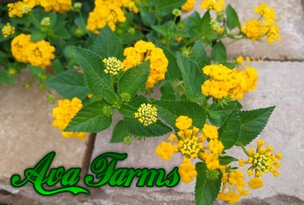 Ava Farms Lemon Yellow Lantana brightens outdoor spaces!