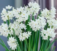 Ava Farms Ziva Paperwhites Gift Collection