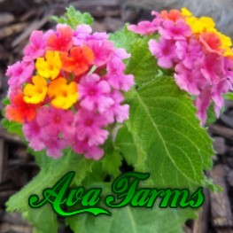 Ava Farms Starburst Cascade Lantana for festive color in your garden and patio areas!