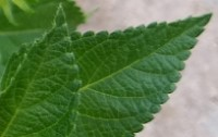 Close up of deep green leaves of Ava Farms Lantana